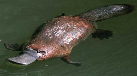 ornitorrinco-agua